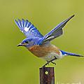 Bluebird Posing by John Vose