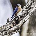 Bluebird by Ronald Grogan