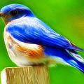 Bluebird by Stephen Younts