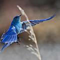Bluebird Taking Flight by James Futterer
