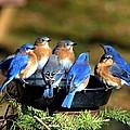 Bluebird Watering Hole by William Fox