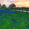 Bluebonnet Fields Forever Brenham Texas by Silvio Ligutti