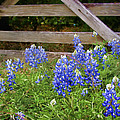 Bluebonnet Gate by David and Carol Kelly