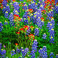 Bluebonnet Patch by Inge Johnsson