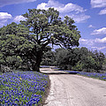 Bluebonnet Road by David and Carol Kelly