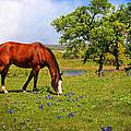 Bluebonnet Trail Delight by Lynn Bauer