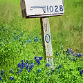 Bluebonnets And Mailbox by Joan Carroll