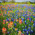 Bluebonnets And Prarie Fire by Inge Johnsson