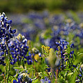 Bluebonnets In Spring by Linda Unger