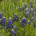 Bluebonnets In The Grass by Linda Unger