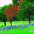Bluebonnets With Red Flourish  by Pamela Smale Williams