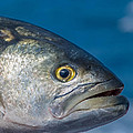 Bluefish by Jim DeLillo