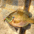 Bluegill In Hdr by Thomas Young