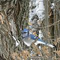 Bluejay And Bark by Peggy  McDonald