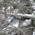 Bluejay In Crabtree by Peggy  McDonald