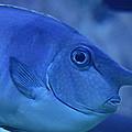 Bluespine Unicorn Fish by Karon Melillo DeVega
