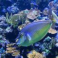 Bluespine Unicornfish by Karon Melillo DeVega