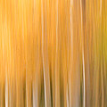Blurred Aspens by CJ Middendorf