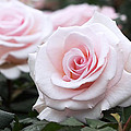 Blush Pink Roses by Rona Black