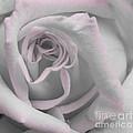 Blush Rose by Jim And Emily Bush