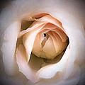 Blushing Beauty  by Susan McMenamin