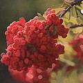 Blushing Berries by Kandy Hurley