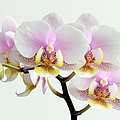 Blushing Orchids by Juergen Roth