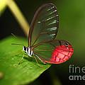 Blushing Phantom Butterfly by James Brunker