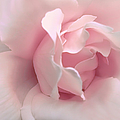 Blushing Pink Rose Flower