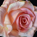 Blushing Pink Rose by Jeannie Rhode