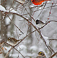 Blushing Red Cardinal In The Snow by Betsy Knapp