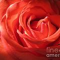 Blushing Orange Rose 1 by Tara  Shalton