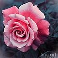 Blushing Rose by Barbara Griffin