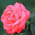 Blushing Rose by Rosanne Jordan