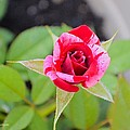 Blushing Rose by Sonali Gangane