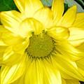 Blushing Sunshine by Maria Urso