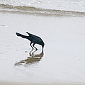Boat-Tailed Grackle - Quiscalus major - in Surf