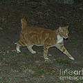 Bob-tail Cat by Donna Brown