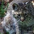 Bobcat 20 by Randy Matthews