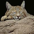 Bobcat, Arizona by Art Wolfe