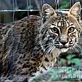 Bobcat Beauty by Kathy  White