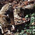 Bobcat Couple by Eva Thomas