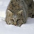Bobcat Crouching In Snow Colorado by Konrad Wothe