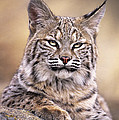 Bobcat Cub Portrait Montana Wildlife by Dave Welling