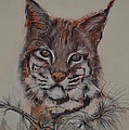 Bobcat by Dorothy Campbell Therrien