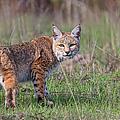 Bobcat Glance by Beth Sargent