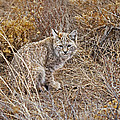 Bobcat In Brush by James Futterer