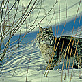 Bobcat In Snow by Eric Albright