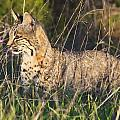 Bobcat In The Grass by Beth Sargent