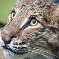 Bobcat by Kenneth Albin